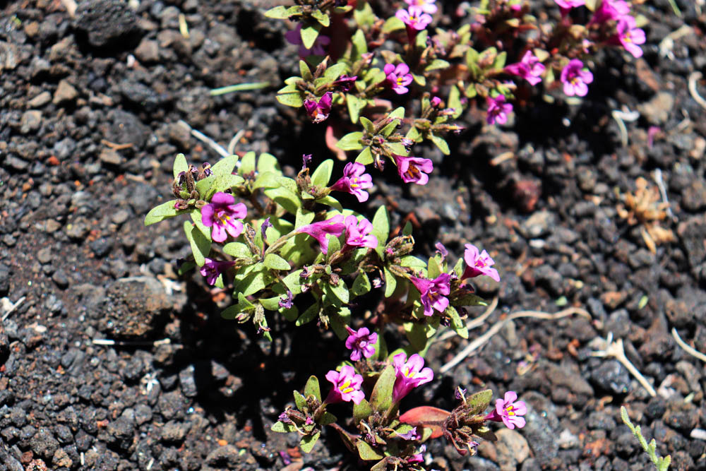 Flowers growing out of lava - life finds a way